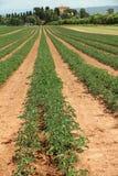 hodowlany pomidor fotografia stock