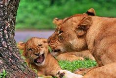 Hoe de leeuw van zijn baby houdt Stock Foto