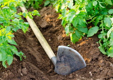 Hoe by potato plants Stock Photography