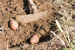 Hoe and potatoes Royalty Free Stock Image