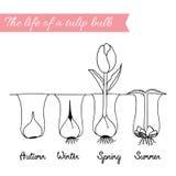 Hoe te het groeien tulpen Royalty-vrije Illustratie