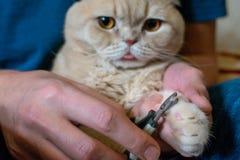 Hoe te om Cat Claws in orde te maken ATS-Ð ¡ klauwzorg, het in orde maken De klauwen van de handenschaar bij de mens overhandigen royalty-vrije stock fotografie