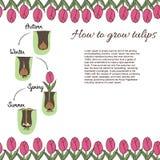 Hoe te om tulpen te planten Vector Illustratie