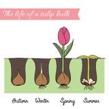 Hoe te om tulpen te planten Royalty-vrije Illustratie