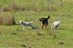 Hoedende Hond Royalty-vrije Stock Afbeeldingen