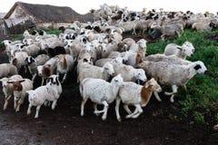 Hoedende schapen Royalty-vrije Stock Foto