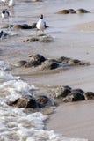 Hoefijzerkrab (Limulus-polyphemus) stock fotografie