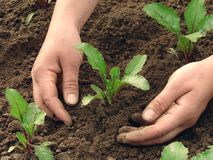 Hoeing. Woman hands earthing beetroot sprouts closeup Stock Image