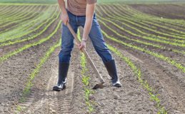 Hoeing corn field Stock Images