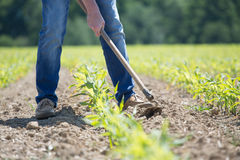Hoeing corn field Royalty Free Stock Images