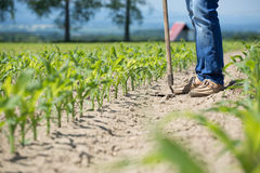 Hoeing corn field Royalty Free Stock Photo
