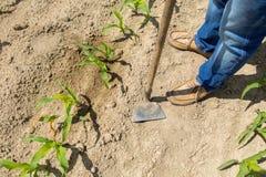 Hoeing corn field Stock Photos