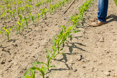 Hoeing corn field Royalty Free Stock Photography