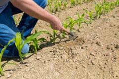 Hoeing corn field Stock Image