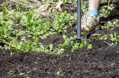 Hoeing in the garden Stock Images