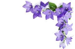 Hoek van Bellflowers wordt gemaakt die Royalty-vrije Stock Foto
