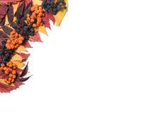 Hoek van de herfstbladeren met lijsterbessenbessen en wilde die druiven op witte achtergrond worden geïsoleerd Stock Foto