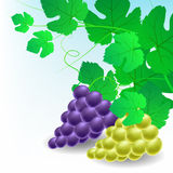 Hoekdecoratie met druiven Stock Foto