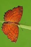 Hoekige Bever/vlinder op takje royalty-vrije stock foto