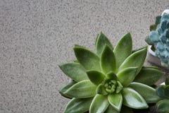 Hoekkader van groene succulents Echeveria op een grijze steenachtergrond Royalty-vrije Stock Afbeeldingen