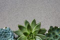 Hoekkader van verschillende installaties Echeveria op een grijze steenachtergrond Royalty-vrije Stock Foto