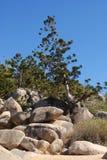 Hoepelpijnboom, Araucaria cunninghamii, Australische inheemse species stock afbeelding
