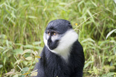 Hoests Fallhammer (Cercopithecus lhoesti) Stockfotos