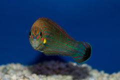Hoeven`s Wrasse. The Hoeven`s Wrasse is also referred to as the Tail Spot Wrasse, the Yellow-lined Wrasse, the Orange-tipped Rainbowfish, the Tailspot Wrasse royalty free stock images
