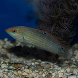 Juvenile / Female Hoeven`s Wrasse. The Hoeven`s Wrasse is also referred to as the Tail Spot Wrasse, the Yellow-lined Wrasse, the Orange-tipped Rainbowfish, the Stock Image