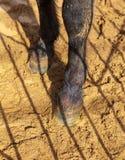 Hoeven van een dier op zand in een dierentuin royalty-vrije stock afbeelding