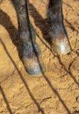 Hoeven van een dier op zand in een dierentuin stock afbeelding