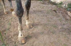 Hoeven van een grijs paard royalty-vrije stock foto