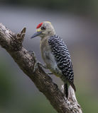 Hoffman's Woodpecker Male Stock Images