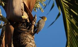 Hoffmann的啄木鸟 免版税库存图片