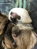 Hoffmann`s Two-toed Sloth with baby. Choloepus hoffmannii. She is taken care of by her mother Stock Image