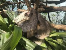Hoffmann`s Two-toed Sloth with baby. Choloepus hoffmannii. She is taken care of by her mother Royalty Free Stock Photos