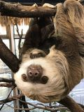 Hoffmann`s Two-toed Sloth with baby. Choloepus hoffmannii. She is taken care of by her mother Royalty Free Stock Photo