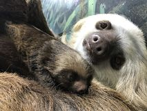 Hoffmann`s Two-toed Sloth with baby. Choloepus hoffmannii. She is taken care of by her mother Stock Photo