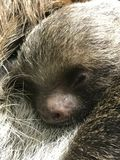 Hoffmann`s Two-toed Sloth with baby. Choloepus hoffmannii. She is taken care of by her mother Stock Photography