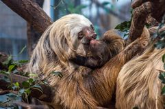 A hoffmann`s Two-toed Sloth just giving birth to a young. Stock Photos