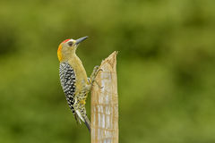 Hoffmann's Woodpecker Royalty Free Stock Photos