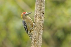 Hoffmanns Woodpecker. Stock Image