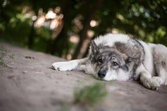 Hoffnungslosigkeit in den Augen eines müden Hundes Lizenzfreies Stockfoto