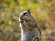 Hoffnungsvolles Streifenhörnchen Stockbilder