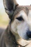 Hofhund, der Nahaufnahme schützt Stockbild