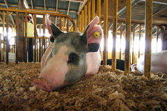 Hog. Close-up of black and white show hog lying in sawdust in pen stock photo