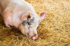 Hog. Resting on straw on farm Stock Image