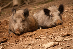 Hog Royalty Free Stock Image