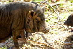 Hog Stock Image