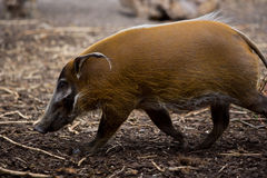 Hog. Picture of a running brown hog Stock Photo